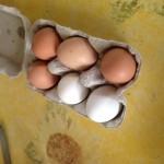 Les œufs de notre poulailler